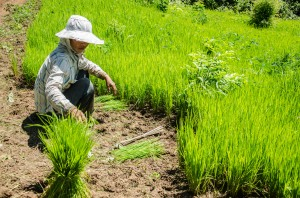 Village food security depends on the rice harvest. Women picks rice seedlings to re-plant in Mokchong Khmu village, in northern Luang Prabang province.