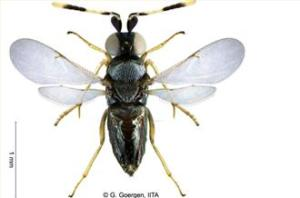 A photo of the parasitoid wasp released by the International Center for Tropical Agriculture [AP]